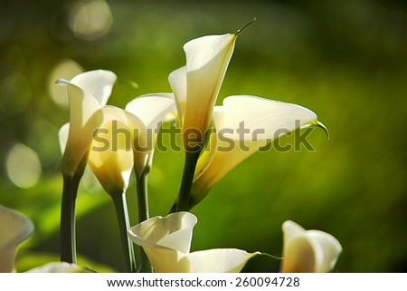 White Calla Lilies for adv or others purpose use