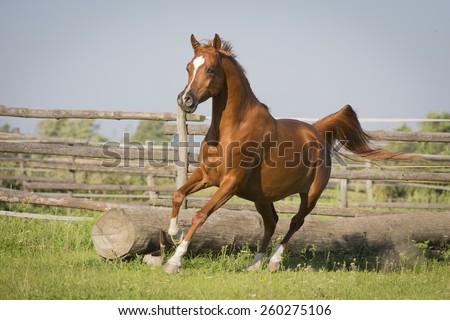 Arabian Western Horse #260275106