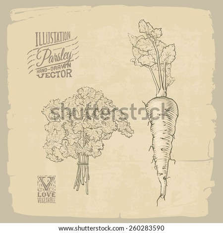 Vector hand-drawn illustration of parsley #260283590