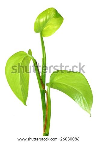 Green stem #26030086