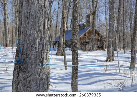 Old Abandoned sugar shack in a maple bush  #260379335