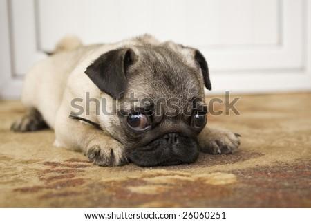 small dog #26060251