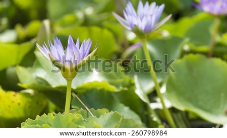 Purple water lily flowers in pond. #260798984