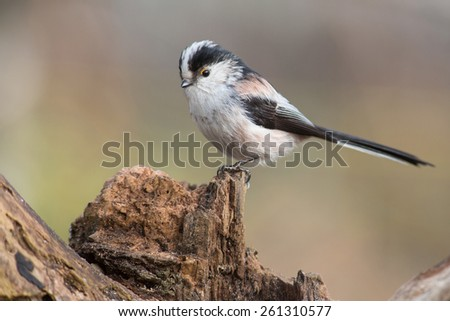 long-tailed tit #261310577