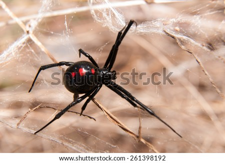 Black Widow spider outdoors on a web #261398192