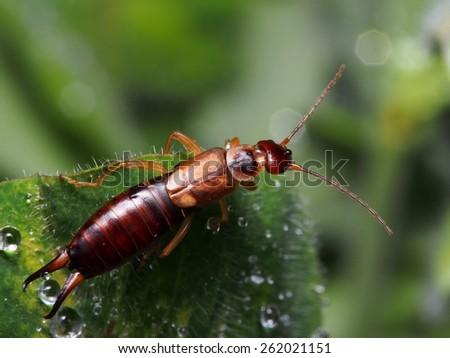 Single earwig resting on green leaf