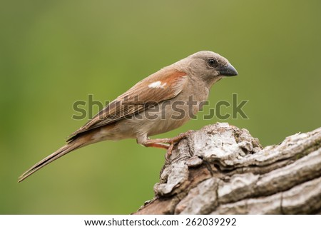 Southern Grey-Headed Sparrow (Passer diffusus) perched on a log #262039292