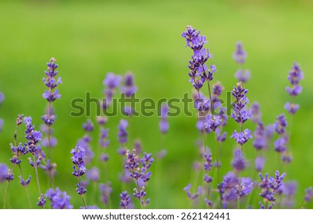 lavender flowers on the green grass closeup #262142441