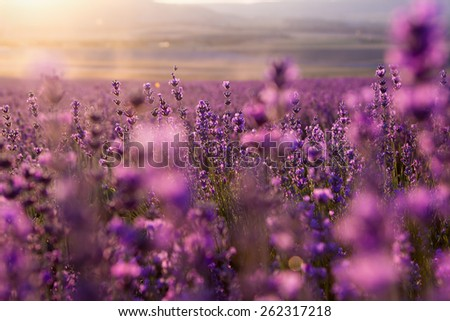 blurred summer background of wild grass and lavender flowers, soft focus #262317218