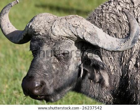 Water Buffalo in Ngorongoro #26237542