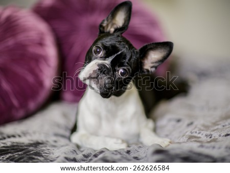 Boston Terrier Fina relaxing on her masters bed