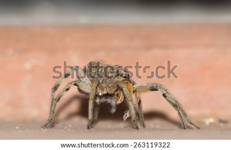 Close up of female wolf spider with babies on back #263119322
