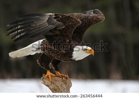 A Bald Eagle (Haliaeetus leucocephalus) taking off.  #263456444