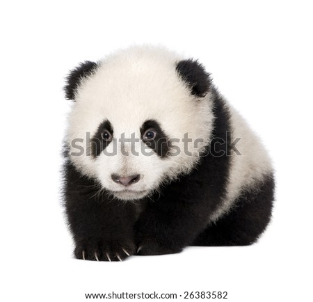 Giant Panda  (4 months)  - Ailuropoda melanoleuca in front of a white background #26383582