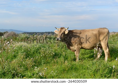 Mountain cow grazing in green meadow full of grass in the spring. #264030509