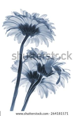 Gerbera flowers isolated on white background, blue toned macro photo with shallow DOF