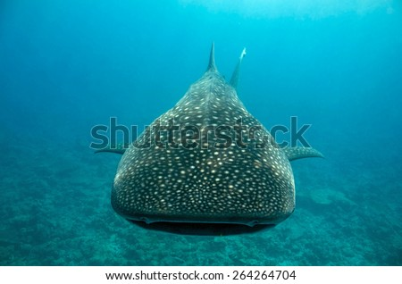 Whale Shark (Rhincodon Typus) Approaching, South Ari Atoll, Maldives