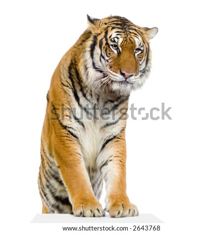 Tiger posing in front of a white background. All my pictures are taken in a photo studio #2643768