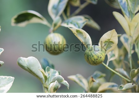 Lemon, Brazilian Fruit Close-up this beautiful, delicate and small brazilian fruit. #264488825