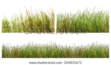 An isolated image of green color wild grasses on white background #264831671