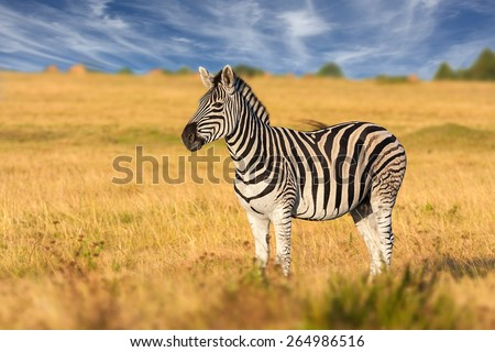 african plains zebra on the dry brown savannah grasslands browsing and grazing. focus is on the zebra with the background blurred, the animal is vigilant while it feeds Royalty-Free Stock Photo #264986516