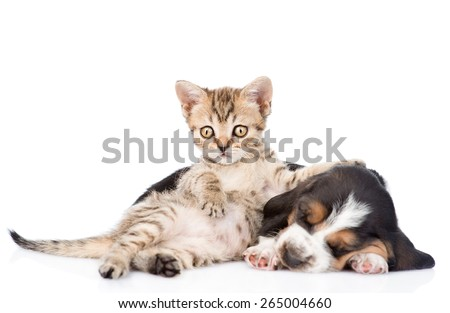 Funny  kitten lying with sleeping basset hound puppy. isolated on white background #265004660