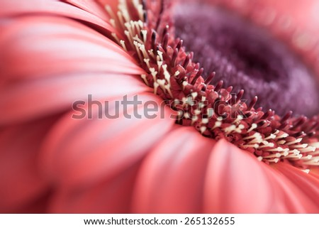 Close-up of beautiful red gerbera