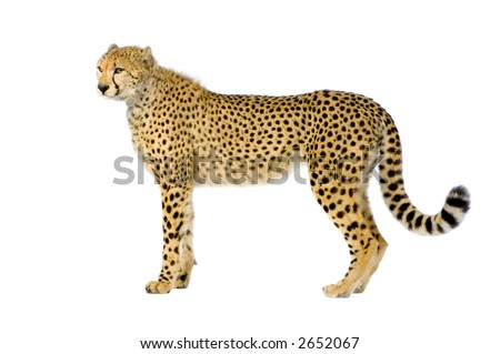 studio Shots of Cheetah standing up in front on a white background. All my pictures are taken in a photo studio #2652067
