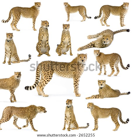 14 studio Shots of Cheetahs in different position, isolated on a white background. All my pictures are taken in a photo studio