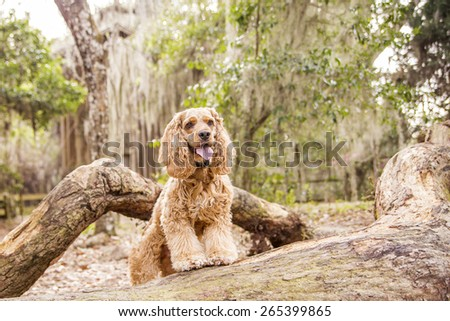 Smiling Small Cocker Spaniel Dog #265399865