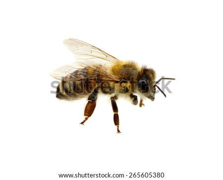 Bee isolated on the white. macro of a living insect. #265605380