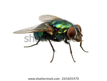 green fly isolated on white Royalty-Free Stock Photo #265605470