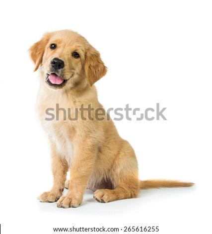 A portrait of a cute Golden Retriever dog sitting on the floor, isolated on white background #265616255