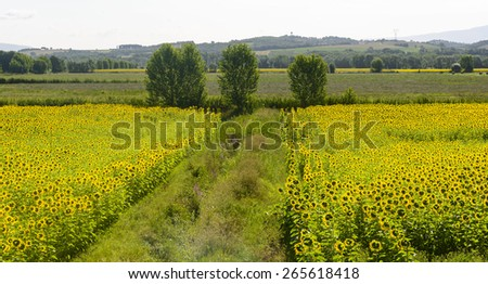 Field of sunflowers in Maremma (Tuscany, Italy) at summer #265618418