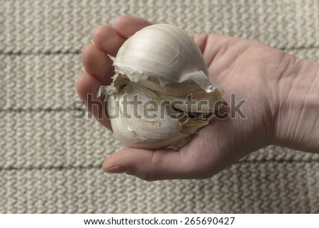 Extra large elephant garlic clasped in hands with moody lighting for farmers background photo #265690427