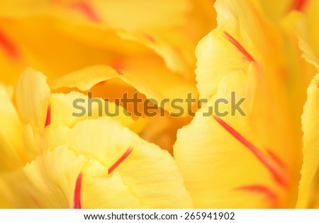 Flower of a yellow tulip large the plan as a background  #265941902
