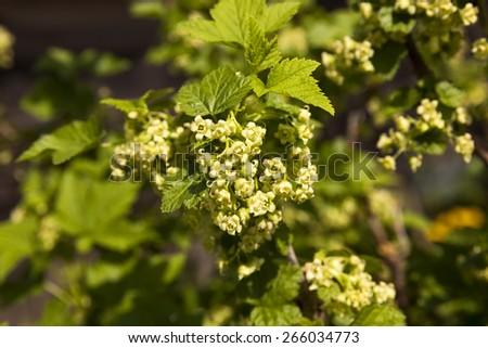 ovary currant flowers. Filmed close-ups. #266034773