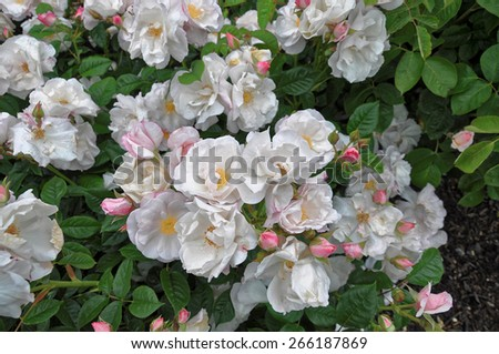 Beautiful wilted white roses in late summer #266187869