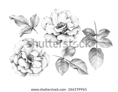 Pencil drawing of roses
