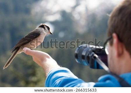 Gray Jay Bird in Photographer's Hand