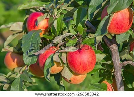 Apple garden full of riped red apples #266585342