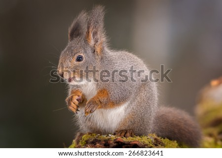 red squirrel standing on tree looking down #266823641