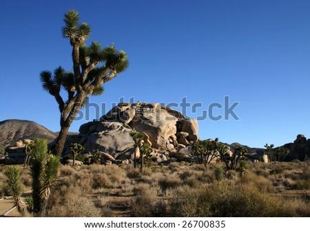 Joshua trees (Yucca brevifolia) and rocks under a blue sky in Joshua Tree National Park, California #26700835