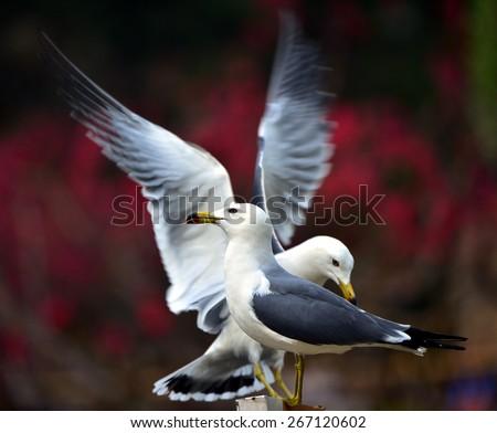 Black-tailed Gull #267120602