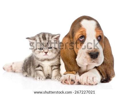 Tabby kitten sitting with basset hound puppy. isolated on white background #267227021