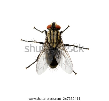 A macro shot of fly on a white background . Live house fly .Insect close-up Royalty-Free Stock Photo #267332411