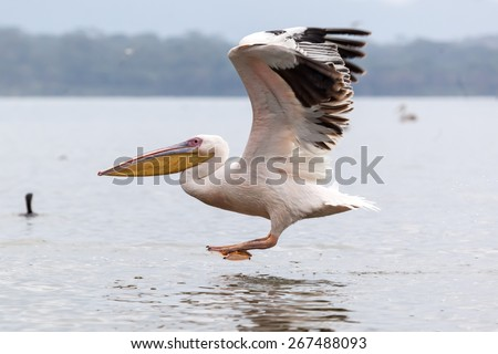 Great white pelican skimming the lake surface in Lake Narasha National Park, Kenya, Africa #267488093