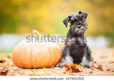 Miniature schnauzer puppy with a pumpkin in autumn #267663302
