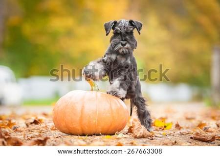 Miniature schnauzer puppy with a pumpkin in autumn #267663308