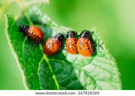 The Colorado potato red striped beetle (Leptinotarsa decemlineata) is a serious pest of potatoes #267818369